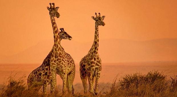 giraffe3257-xl